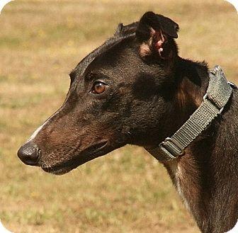 Greyhound Dog for adoption in Portland, Oregon - Savings