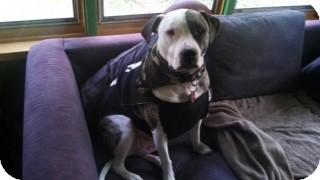 American Bulldog/American Staffordshire Terrier Mix Dog for adoption in Kalamazoo, Michigan - Major