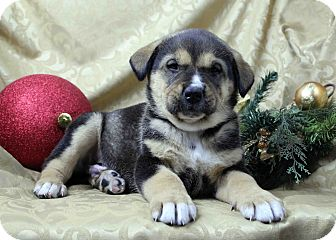 Husky/Rottweiler Mix Puppy for adoption in Westminster, Colorado - Curley