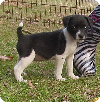 Jack Russell Terrier/Shih Tzu Mix Puppy for adoption in Cairo, Georgia - Jack/Shih-tzu pups