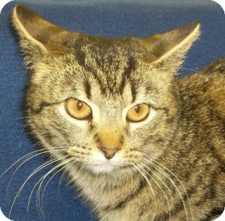 American Shorthair Cat for adoption in Olive Branch, Mississippi - Frannie