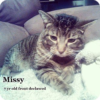Domestic Shorthair Cat for adoption in Bentonville, Arkansas - Missy