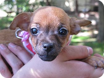 Chihuahua/Terrier (Unknown Type, Small) Mix Puppy for adoption in Spring Valley, New York - Itsy