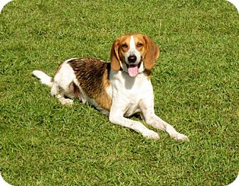 Foxhound Dog for adoption in Port St. Joe, Florida - Ricky-DAWGS
