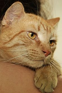 Domestic Shorthair Cat for adoption in Brooklyn, New York - URGENT FOSTER FAMILIES WANTED
