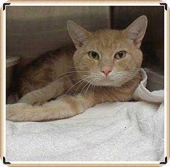 Domestic Shorthair Cat for adoption in Marietta, Georgia - PANCAKE