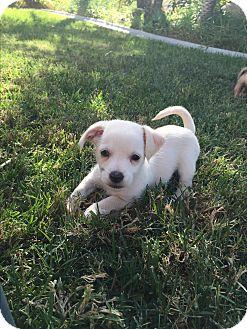 Chihuahua/Poodle (Miniature) Mix Puppy for adoption in Brea, California - Junior