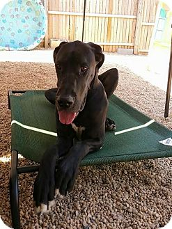 Great Dane Dog for adoption in Baden, Pennsylvania - Spartacus