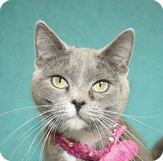 Domestic Shorthair Cat for adoption in Jackson, Michigan - Lacie