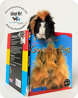 Guinea Pig for adoption in Alexandria, Virginia - Zomba
