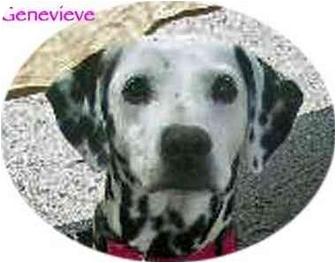 Dalmatian Dog for adoption in Mandeville Canyon, California - Genevieve