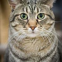 Domestic Shorthair Cat for adoption in Belton, Missouri - Gia