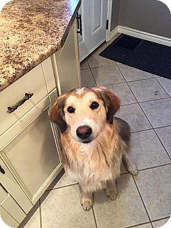 Retriever (Unknown Type)/Collie Mix Dog for adoption in Hanover, Ontario - Sparky