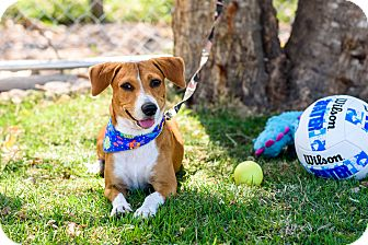 Beagle/Dachshund Mix Dog for adoption in Nanaimo, British Columbia - Toby