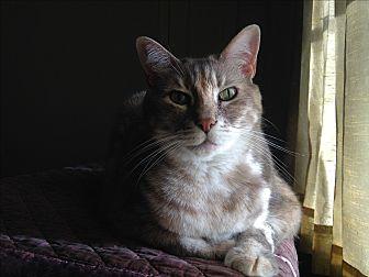 Domestic Shorthair Cat for adoption in St. Louis, Missouri - Sasha