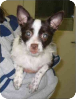 Chihuahua/Terrier (Unknown Type, Small) Mix Dog for adoption in Warwick, Rhode Island - Mabel: A Pint-Sized Pal