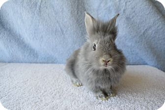 Lionhead Mix for adoption in Fountain Valley, California - Pipkin