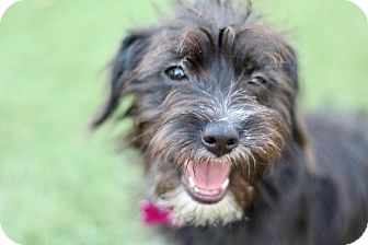 Border Terrier Mix Dog for adoption in Litchfield Park, Arizona - Luna