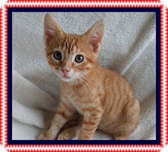 Domestic Shorthair Kitten for adoption in Mt. Prospect, Illinois - Stars