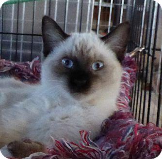 Birman Kitten for adoption in Mission Viejo, California - Avalan