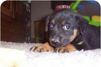 Labrador Retriever/Shepherd (Unknown Type) Mix Puppy for adoption in Franklin, Virginia - Daisy