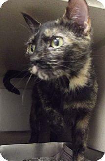 Domestic Shorthair Cat for adoption in Cheboygan, Michigan - CALLIE