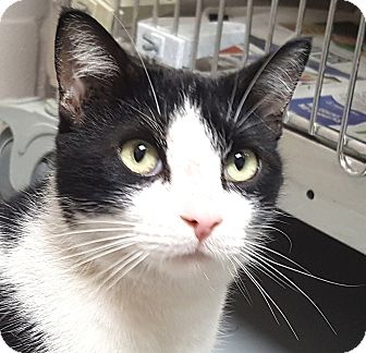 Domestic Shorthair Cat for adoption in Friendswood, Texas - Picatso