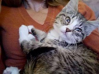 Domestic Shorthair Kitten for adoption in Ashville, Ohio - Mittens
