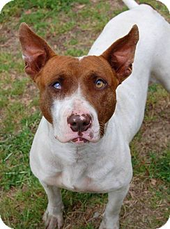 Bull Terrier/Hound (Unknown Type) Mix Dog for adoption in Philadelphia, Pennsylvania - Anastasia