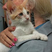 Domestic Shorthair Kitten for adoption in Picayune, Mississippi - Danny
