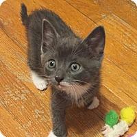 Adopt A Pet :: Baby Gamora - Harrisburg, PA