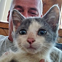 Adopt A Pet :: Gray and White - Princeton, NJ