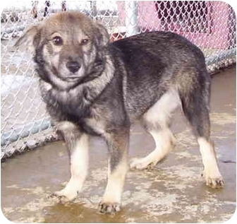 Shepherd (Unknown Type) Mix Puppy for adoption in Somerset, Pennsylvania - Sanner