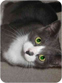 Domestic Shorthair Cat for adoption in Chicago, Illinois - Smudge