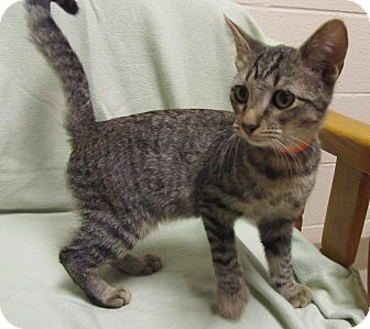 Domestic Shorthair Kitten for adoption in Jackson, Michigan - Thor
