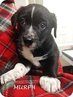 Labrador Retriever/Shepherd (Unknown Type) Mix Puppy for adoption in Lancaster, Kentucky - Murphy