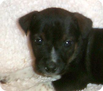 "Rottweiler/Australian Shepherd Mix Puppy for adoption in Tillamook, Oregon - ""ORION"""