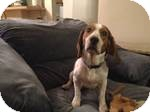 Beagle Mix Dog for adoption in East Hartford, Connecticut - Buddy in Ct