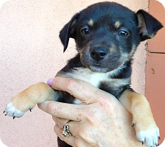 Chihuahua Puppy for adoption in Thousand Oaks, California - Marie