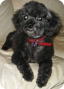 Poodle (Toy or Tea Cup) Dog for adoption in Dover, Massachusetts - Travis