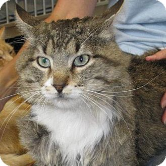 Maine Coon Cat for adoption in Denver, Colorado - Hee-Man