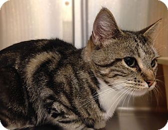 Domestic Shorthair Cat for adoption in Worcester, Massachusetts - Bubbles