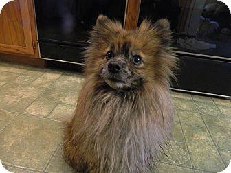 Pomeranian Dog for adoption in West Deptford, New Jersey - Nicholas