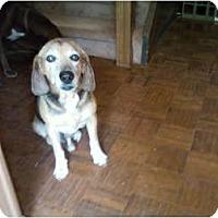 Adopt A Pet :: Beagle Bailey - Seneca, SC