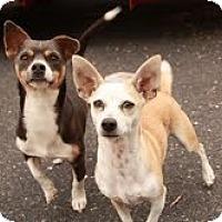 Adopt A Pet :: Little Bit (In New England) - Brattleboro, VT