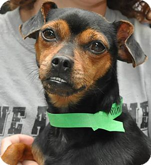 Chihuahua Mix Dog for adoption in Middletown, New York - Minnie Sue