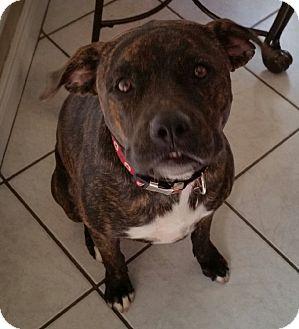 Rottweiler/Pit Bull Terrier Mix Dog for adoption in Cat Spring, Texas - Dakota