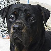 Adopt A Pet :: Lola - Pembroke Pines, FL