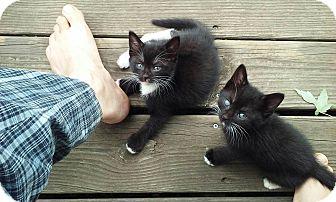 Domestic Shorthair Kitten for adoption in Sterling Hgts, Michigan - Starsky & Hutch (bottle fed)