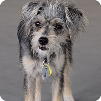 Adopt A Pet :: *Praline - PENDING - Westport, CT